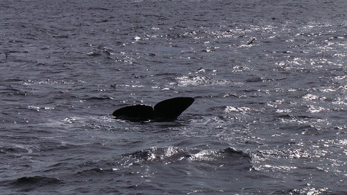2013-0721 815 Andenes tweede duik walvis 37