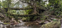The Double Decker Root Bridge - Tangled Up in Greens photo by Anoop Negi