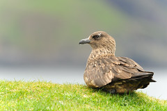 Great skua photo by amylewis.lincs