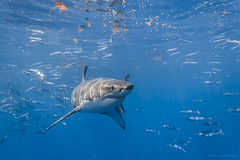Young male great white shark mid-turn photo by George Probst