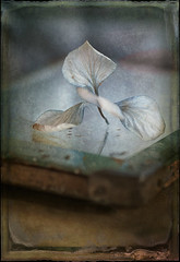 antique hydrangea photo by borealnz