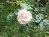 Rose sauvage de Provins