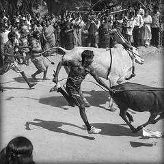 Pongal, cows race... photo by lalie sorbet