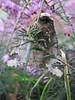 papillon nocturne la Phalène précoce ou la Géomètre du peuplier