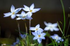 Spring starflower photo by Nam2@7676