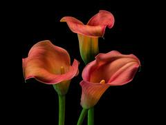 Calla Lilies photo by tonybill