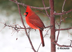 cardinal rouge- northern cardinal ( Richard) photo by ricketdi