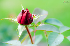 Early Rose photo by _Hadock_