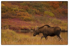 Moose Walking by the Lake © photo by jeanne.marie.