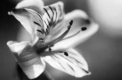 Peruvian Lily photo by j man.