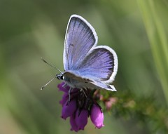 Silver Studded Blue (Plebejus argus) photo by Rezamink