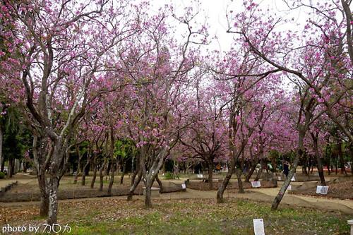 12_台南公園羊蹄甲