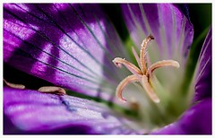 Box of sparkles inside a tiny geranium flower photo by Scruddy
