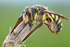 Wool carder bee photo by Nikola Rahme