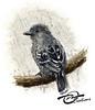 Aquarelle Oiseau Batara