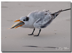 Hungry Baby Royal Tern photo by Betty Vlasiu