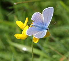 Common Blue - Polyommatus icasrus photo by Twoshoes3