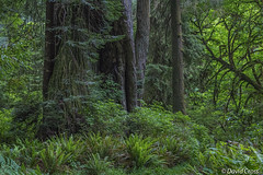 Prairie Creek Redwoods State Park photo by buffdawgus
