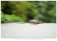 Brown Rat-Rattus norvegicus photo by www.jeroenstel.com