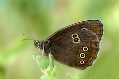 "Ringlet.....BBC's Nature ""Photo of the Day"", 23rd July. photo by klythawk"