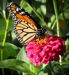 Monarch Butterfly photo by mahar15