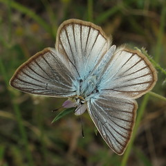 Forster's Anomalous Furry Blue - Polyommatus kurdistanicus photo by Camerar