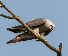 #2~Mississippi Kite (Ictinia mississippiensis) photo by mesquakie8