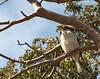 Kookaburra, Kings Park Perth WA Australia