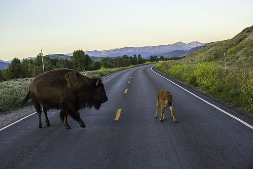 7/30/2014 - Jackson Hole jaywalking