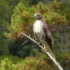 Red-tailed Hawk with tree bokeh photo by annkelliott