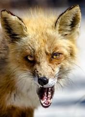 Red Fox-574729.jpg photo by HVargas