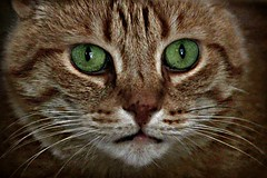 cat face photo by sillitilly