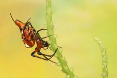 Opas sp. (Tetragnathidae). photo by Bruno Garcia Alvares