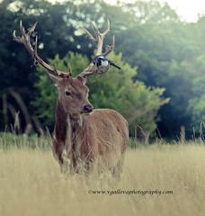 deer photo by vgallova