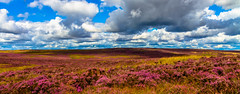 The Bonnie Bloomin' Heather photo by rob of rochdale