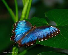 Blue Morpho photo by Jeff M Photography
