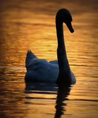 Mute Swan,Lake Windermere,Lake District National Park,Cumbria. photo by Juncea
