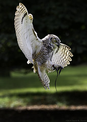 Owl Landing photo by DsquaredUK