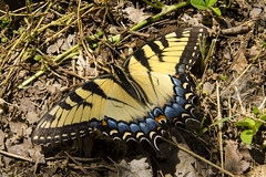 Yellow Tiger Swallowtail Butterfly photo by rschnaible (Off - But Enjoying Your Uploads)