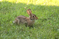 The Rabbit photo by Ralph J. Ross - thanks for the 200,000 + views