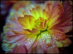 Orange Mum with Dew photo by Firery Broome