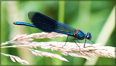 Damselfly (male) (Calopteryx splendens) photo by Lorraine1234