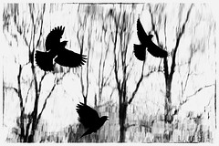 Red-Winged Blackbirds Take Flight © photo by jeanne.marie.