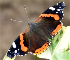 Red Admiral Butterfly. photo by Doolallyally