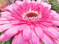 Passionate Pink photo by bigbrowneyez