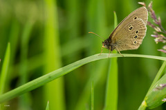 Ringlet Butterfly [Explored 25/06/14 #99] photo by Rob_ert