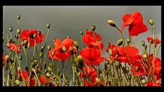 Poppies [EXPLORE 30.6.14 No 27] photo by Zenas M