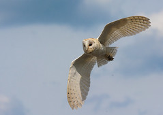 Barn Owl in flight photo by keith27a