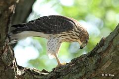 Épervier de cooper  juvénile / Cooper's Hawk photo by Yves Déry