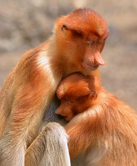 Mother and infant - Total contentment.  Proboscis Monkeys at Labuk Bay, Borneo. photo by One more shot Rog
